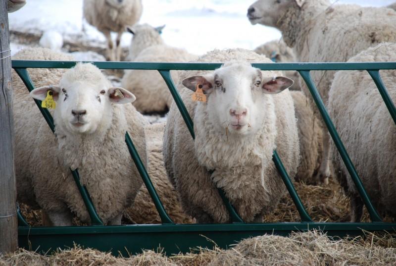 Focare de scrapie în judeţul Botoşani! Zeci de ovine sacrificate
