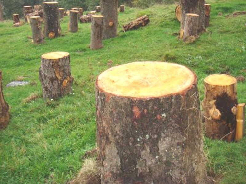 Fost pădurar, pus de judecători să plătească cel mai mare furt de lemne din judeţul Botoşani!