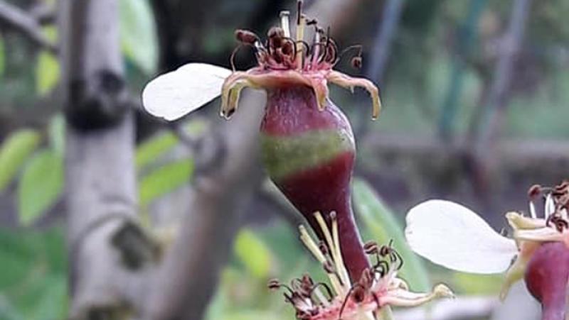 Frost ring: Ce înseamnă inelul apărut la merii cu fructe cât aluna