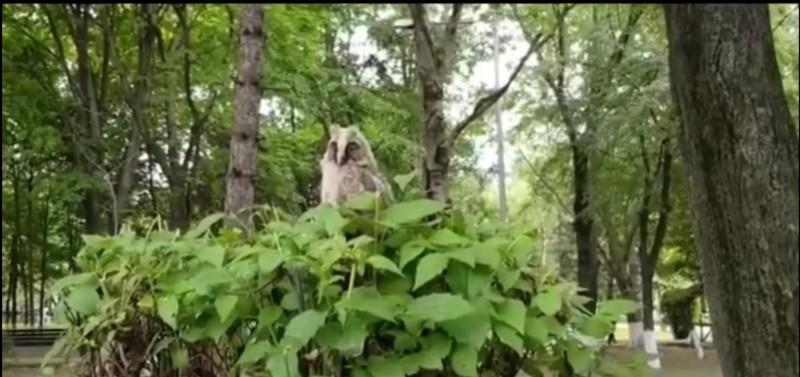 Garda de Mediu din Botoșani caută cuibul unui pui de ciuf de pădure, rătăcit în Parcul Curcubeului
