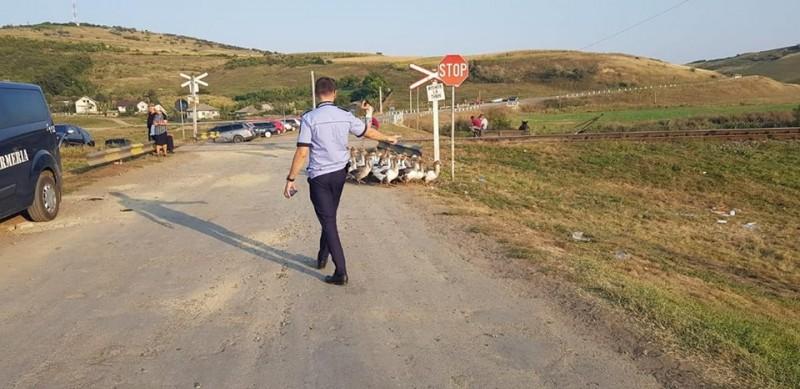"""Gâște trase pe dreapta de polițiști: """"Nu doar că mergeau pe contrasens, dar..."""" - FOTO"""