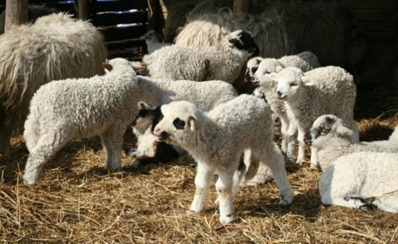 Gata cu tradițiile românilor. Agricultorii sau ciobanii nu mai pot sacrifica mieii de Paște în gospodărie