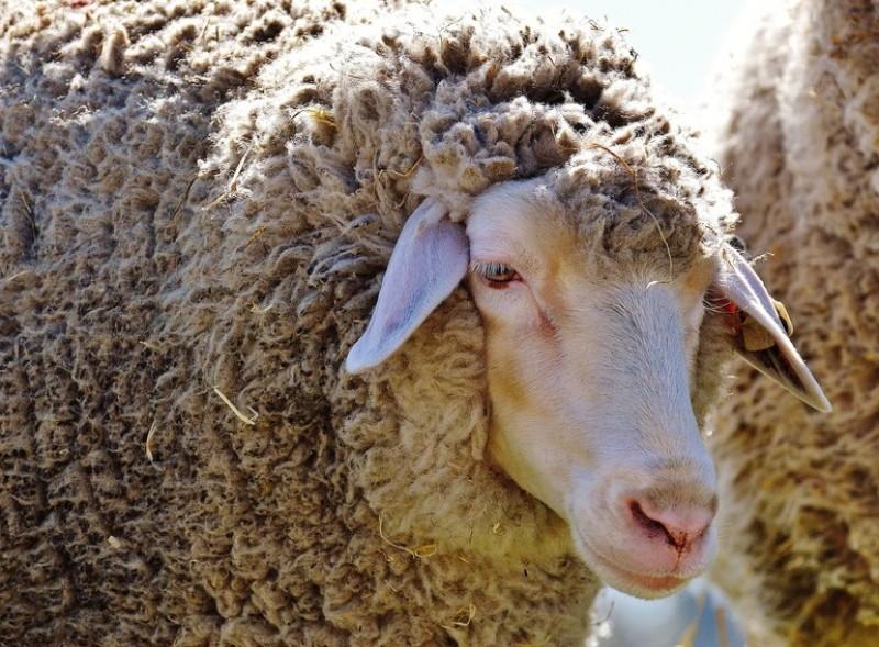 Guvernul a decis câți bani le va da oierilor la kilogram de lână vândută. Astăzi, lâna este aruncată pe câmp!