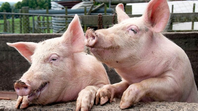 Guvernul interzice românilor să mai crească porci în propria gospodărie