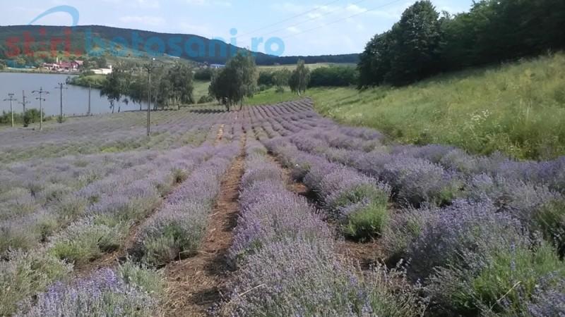 """Hectare întregi din Botoşani cultivate cu plante aromatice şi medicinale. """"Este singura exploataţie agricolă 100% ecologică din judeţ"""""""