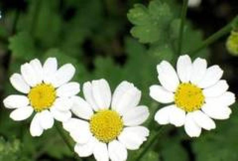 IMPORTANT! Există remedii sub formă de plante care îți pot pune viața în pericol!