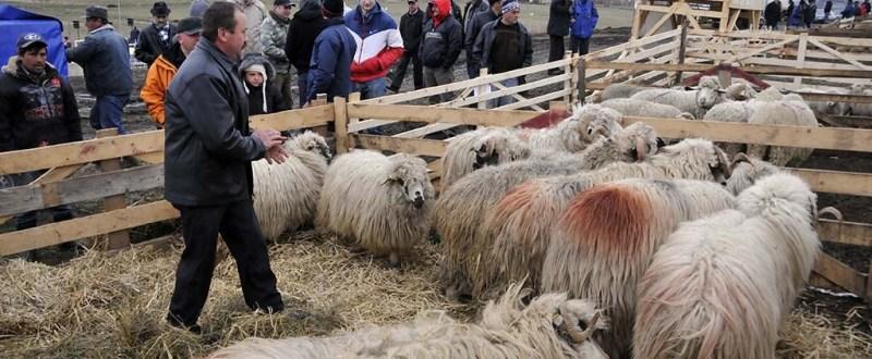 În atenția fermierilor botoșăneni: Cum pot beneficia crescătorii de oi de ajutorul de minimis pentru comercializarea lânii!