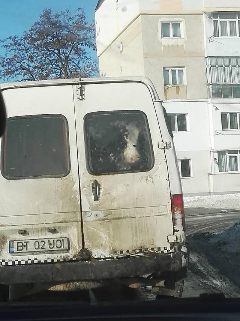 INCREDIBIL! Vacă plimbată cu microbuzul prin oraș! FOTO