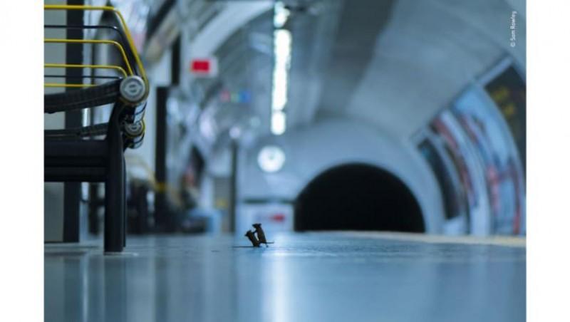 """Inedit: A fost desemnat fotograful anului, după ce a surprins o """"încăierare la metrou""""... între doi șoareci"""