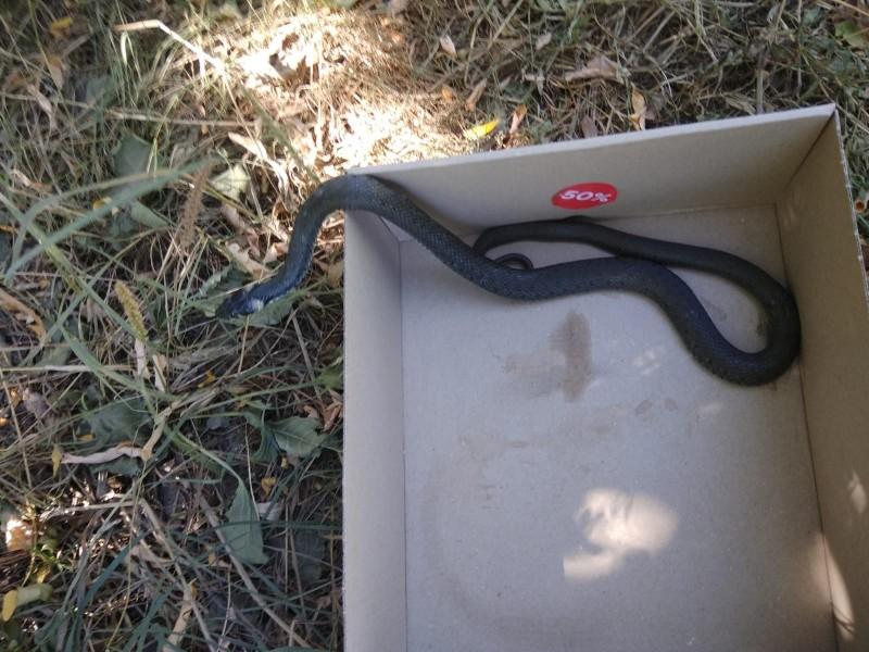 Jandarmii au capturat un șarpe de un metru și l-au dus la Rediu