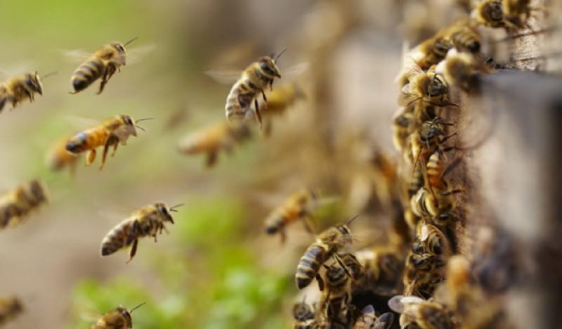 La un pas de moarte după cea fost atacată de un roi de albine