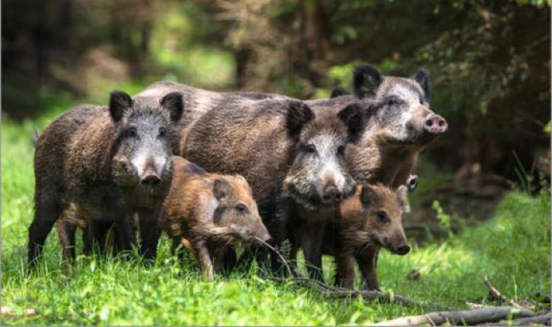 Lângă noi: Porcii mistreți au invadat străzile din Suceava