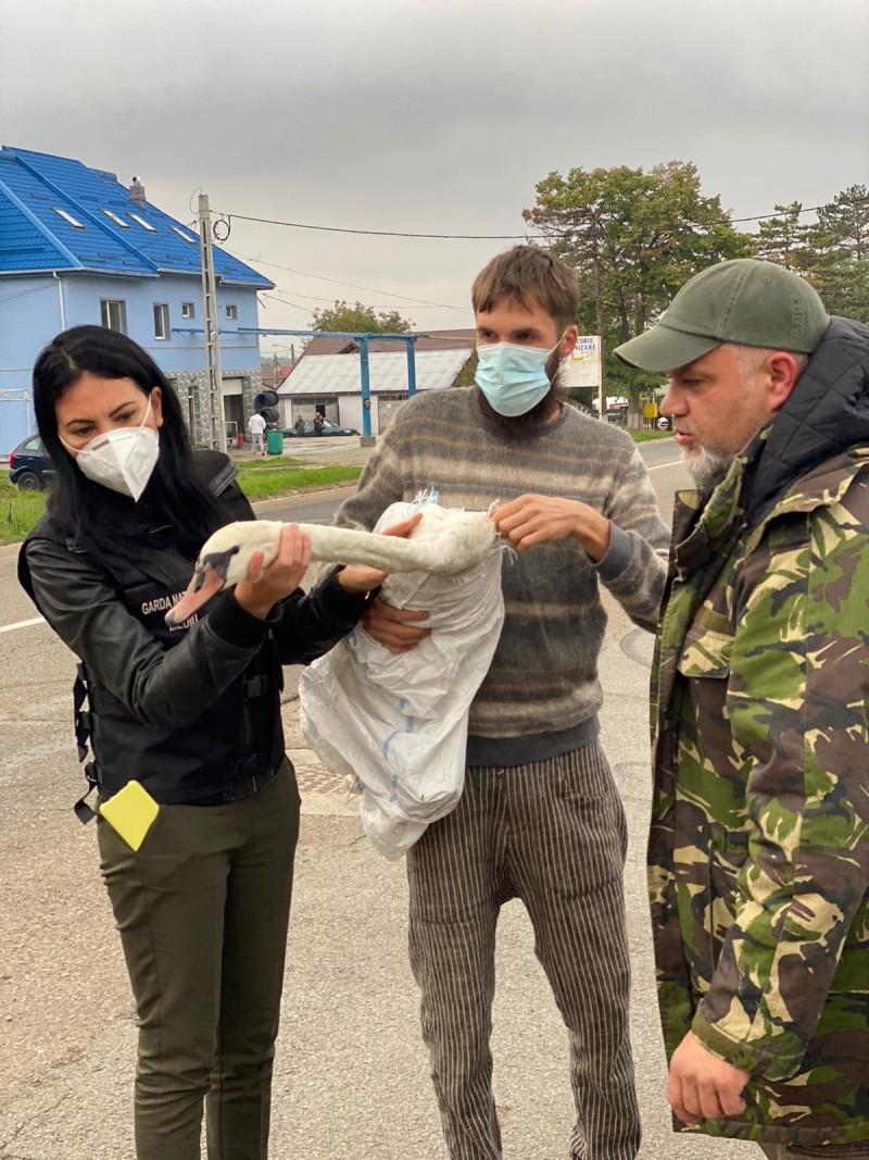 Lebădă rănită, preluată de comisarii Gărzii de Mediu Botoșani
