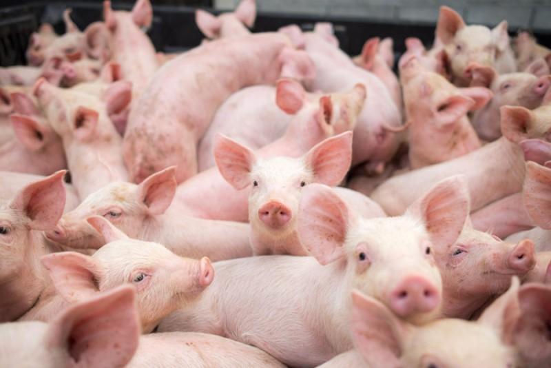 Legea porcului cerută imperativ de Asociația Română a Cărnii