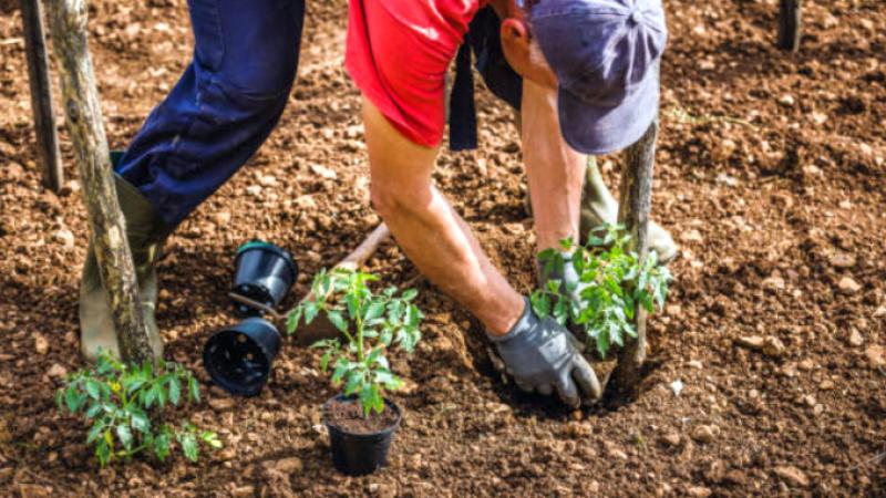 Legume care se plantează sau se seamănă în luna mai