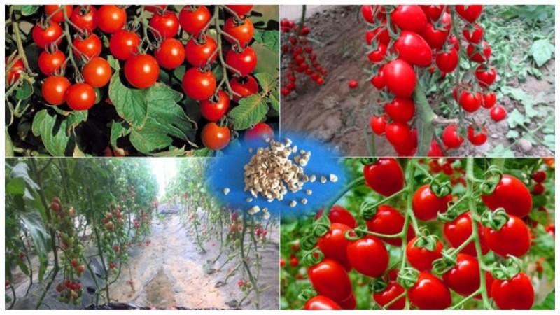 Metodele Maslov pentru cultivarea roșiilor: Cum ajutați plantele să producă de 10 ori mai mult!