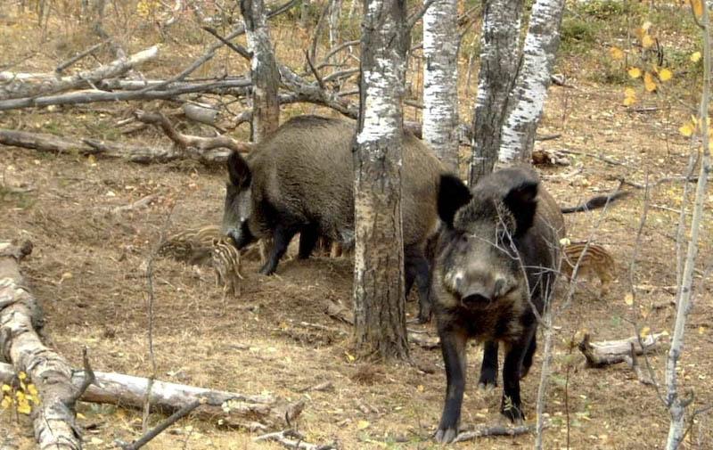 Mii de porci mistreti vor fi vaccinati antipestos