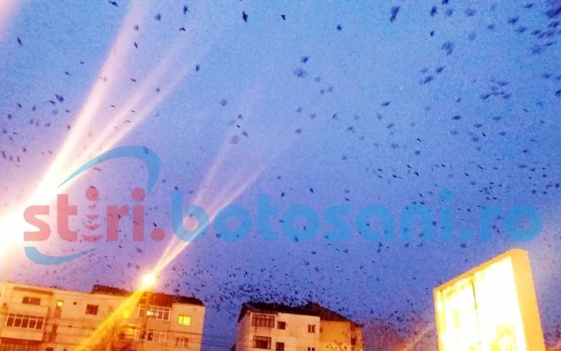 Municipiul Botoşani, invadat de ciori! Cetătenii nu mai suportă mizeria – FOTO, VIDEO