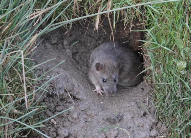 Mușcată de șobolan în propria curte!