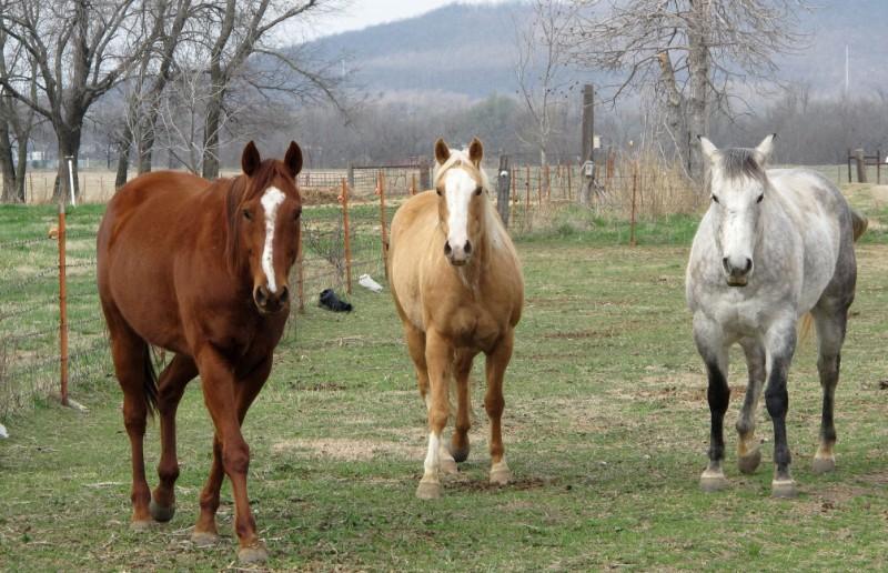 Noi cazuri de anemie infecţioasă, identificate în judeţ! Caii bolnavi sunt OBLIGATORIU abatorizaţi