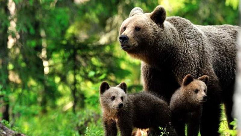 Noi stăm în case iar natura își reia ciclul natural: O ursoaică cu pui a coborât până într-un sat și a atacat oile dintr-o gospodărie