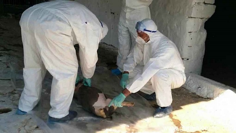 Nou focar de pestă porcină la Vlăsinești. Cercetătorii din Vietnam au găsit un vaccin, iar ministrul Daea speră să-l aducă în România