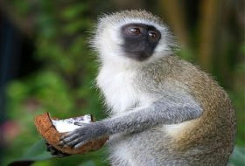 O vorba buna: Maimuţa şi nuca de cocos