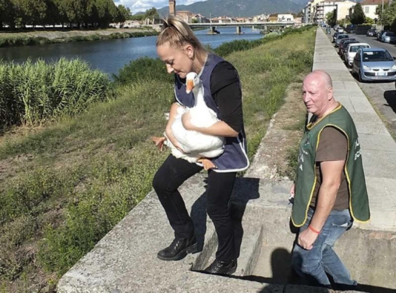 Panică în Italia: O româncă l-a furat pe Osvald, gâscanul mascotă al unui cartier, pentru a-l găti la cină