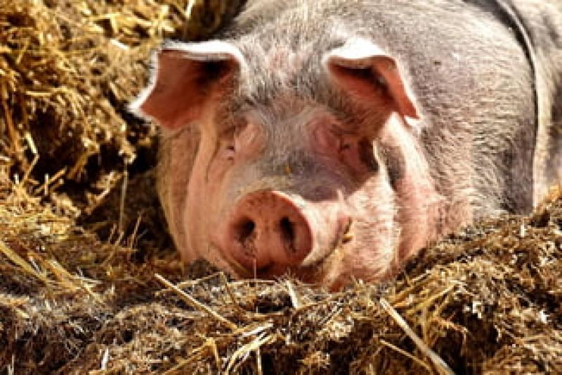 Parchetul General a deschis o anchetă în cazul epidemiei de pestă porcină
