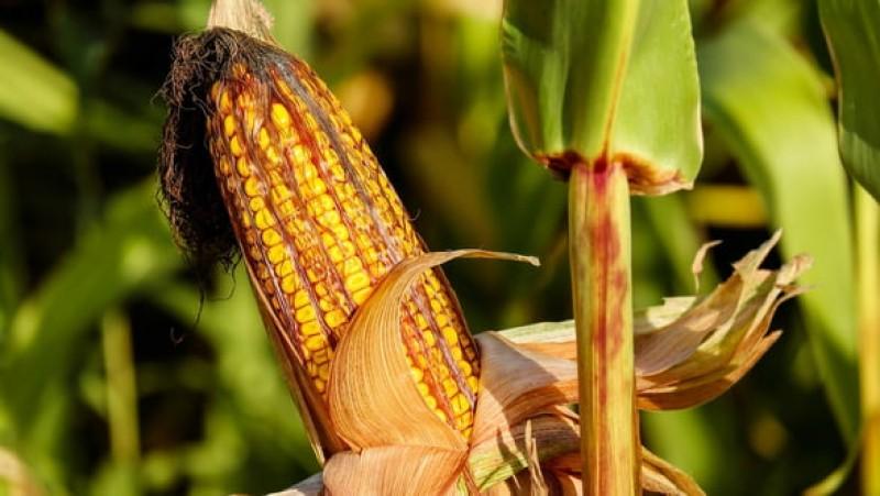 Partea bună a ploilor din ultima perioadă: Recolta de grâu și porumb va fi mult mai bună în acest an