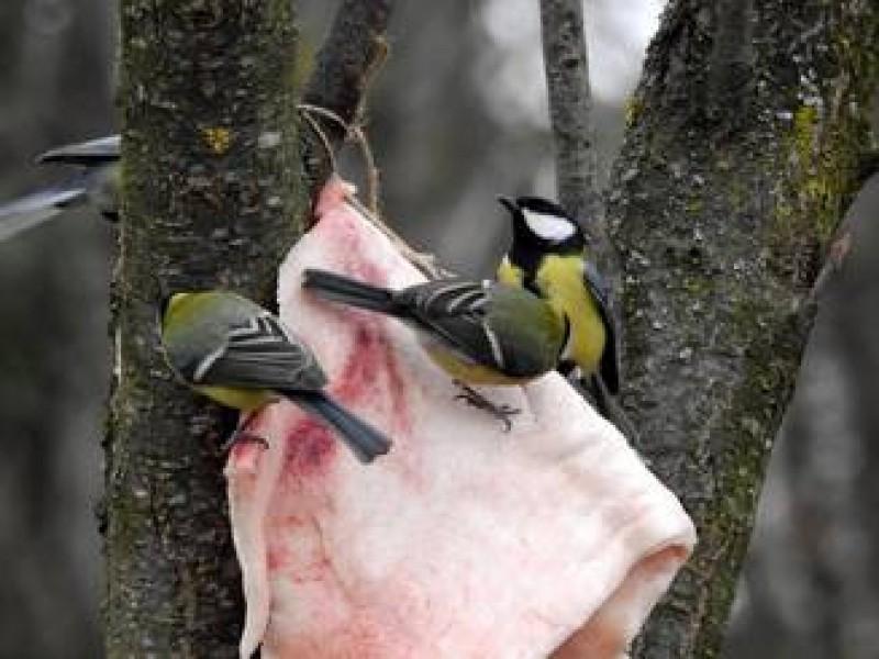 Pentru ca vine gerul polar, ornitologii recomanda sa hranim pasarile cu slanina