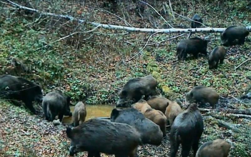 Pericolul pestei porcine africane pândeşte la graniţă. Patru comune, incluse în zona infectată.