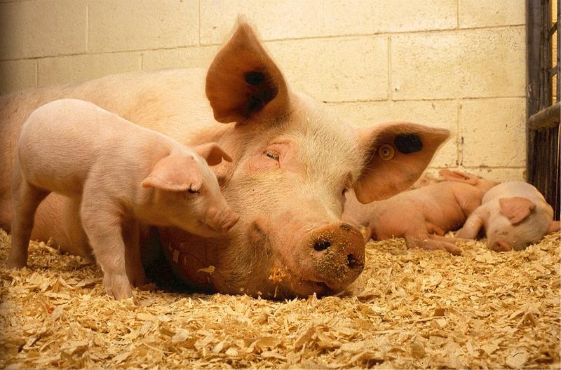 Pesta porcină a ajuns orașul Brăila, dar nu vor fi eutanasiați toți porcii din oraș