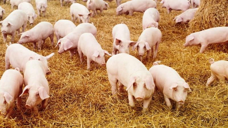 Pesta porcină africană a fost confirmată în două gospodării din Judeţul Ialomiţa