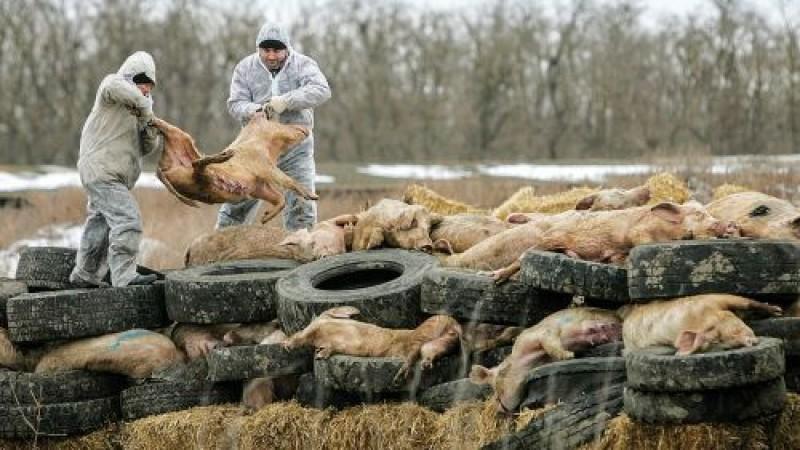 Pesta Porcină Africană face ravagii