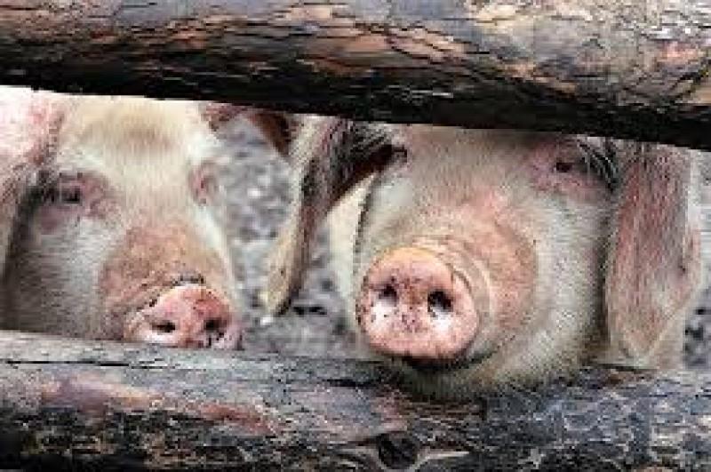 Pesta porcină africană, motiv de îngrijorare pentru botoșăneni