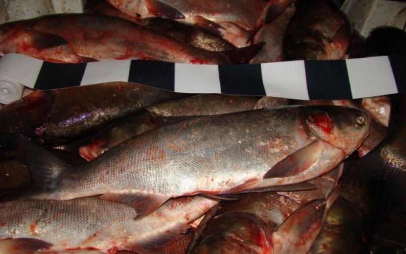Peste 200 de kilograme de peşte, furate de la o fermă piscicolă din judeţul Botoşani!