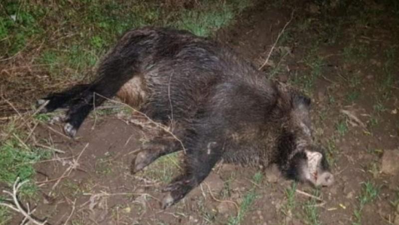 Peste o sută de mistreți găsiți morți în pădurile județului