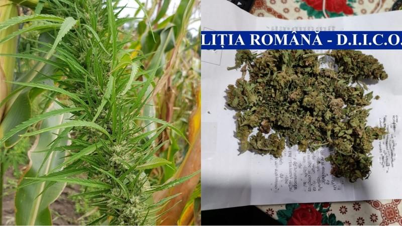 Plantație de cannabis descoperită în Flămânzi. Un tânăr de 20 de ani a fost arestat