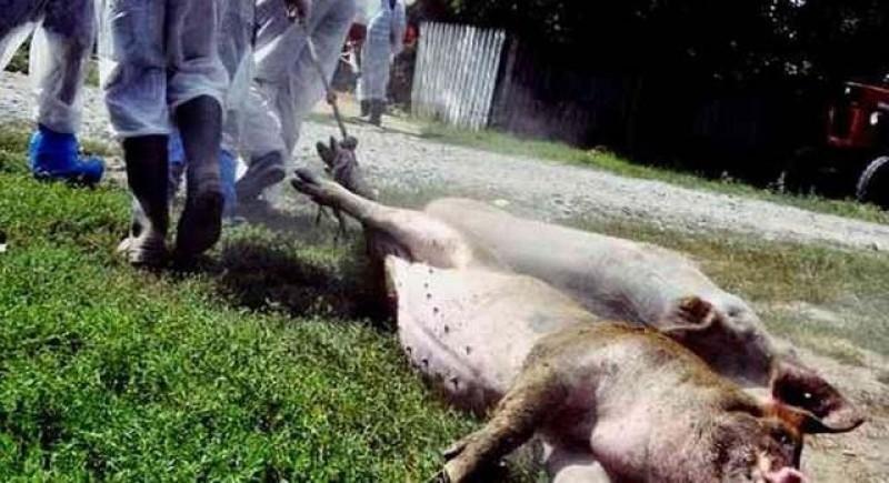 Poate scăpăm de nebunia pestei porcine africane. A apărut primul vaccin cu eficiență de 100%!
