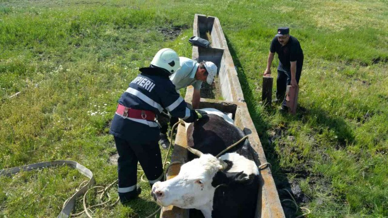 Pompierii din Saveni au salvat o vaca blocata intr-o adapatoare! FOTO