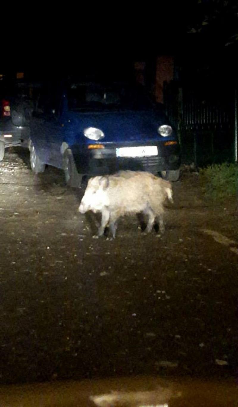 Porc mistret ratăcit pe străzile din municipiul Botoșani! FOTO, VIDEO