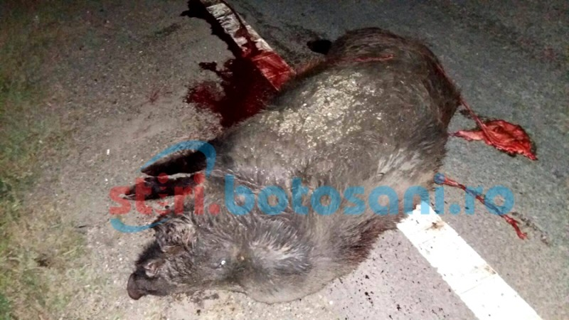 Porc mistreţ ucis de un autovehicul după un impact puternic FOTO