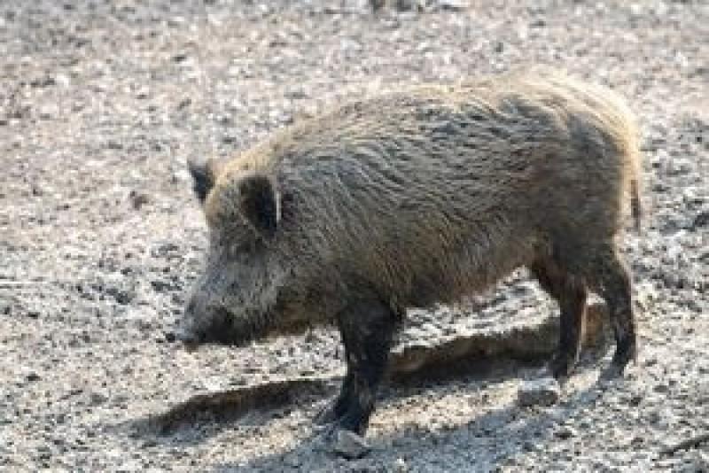 """Botoșănenii care locuiesc la granița cu Rep. Moldova și Ucraina, terorizați de porcii mistreți! """"Pericolul ne paște foarte tare!"""""""