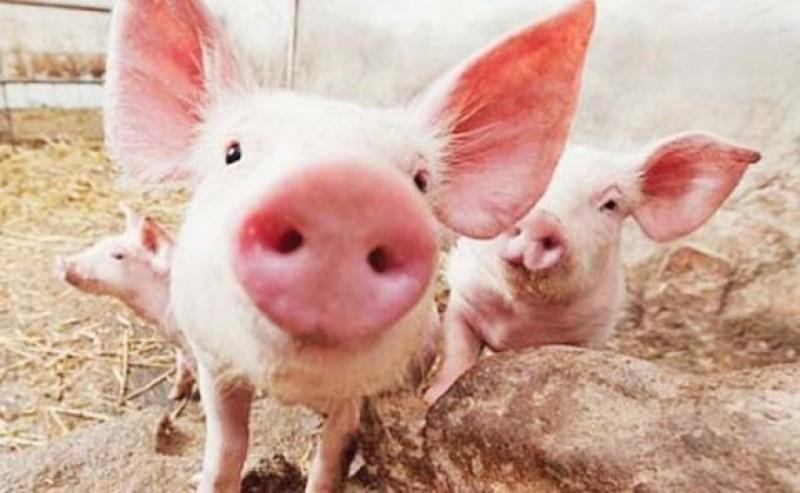Porci confiscați de la un botoșănean: Proprietarul a fost amendat, porcii au fost asomați și incinerați!