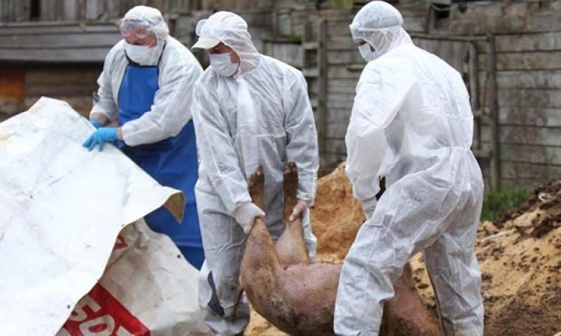 Porcii din Botoșani au băgat groaza în toată Moldova!