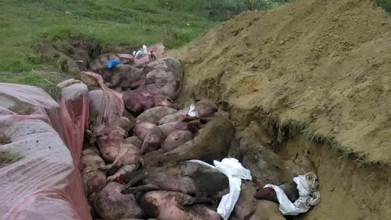 """Porcii îngropați, PERICOL URIAȘ. """"Băgăm VIRUSUL în primul strat de pânză freatică!"""""""