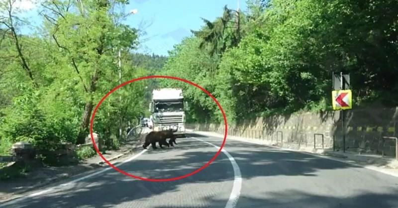 Prioritate de urs! O ursoaică a oprit traficul pe o șosea din România - VIDEO