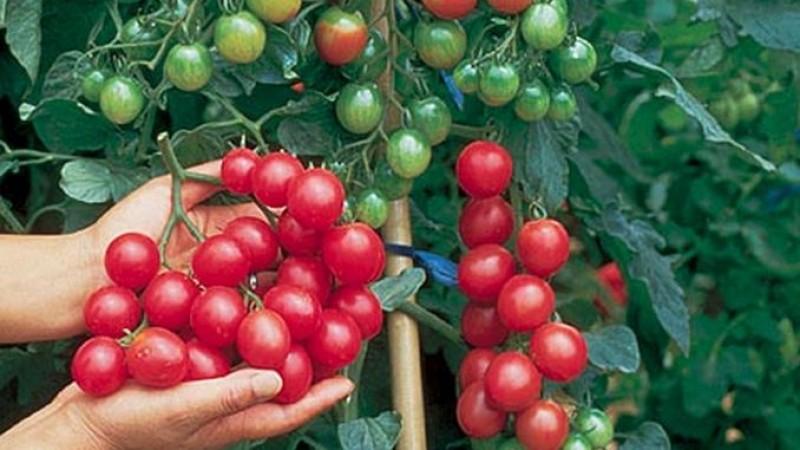 Rețete de îngrășământ bio pentru tomate: Cum hrănim roșiile cu cenușă, drojdie sau bicarbonat