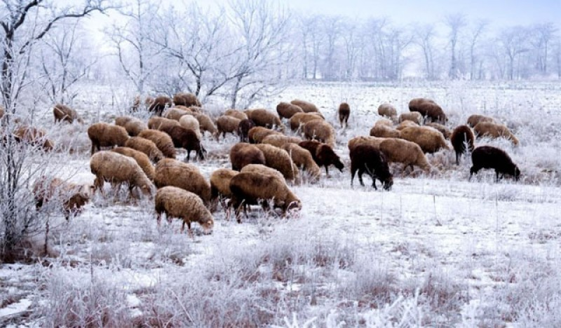 România permite doar proprietarilor de terenuri să aibă animale la pășunat pe timpul iernii